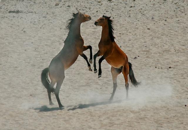 Fighting Wild Horse Stallions, Garub Pan, Aus, Namibia