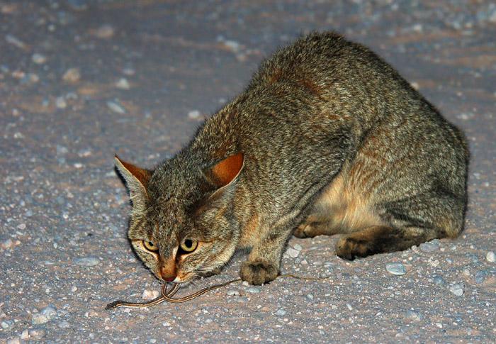 African Wildcat eating a small snake, Mata Mata, Kgalagadi Transfrontier Park, South Africa