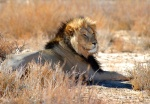 Black-maned Kalahari Lion, Kgalagadi Transfrontier National Park, South Africa