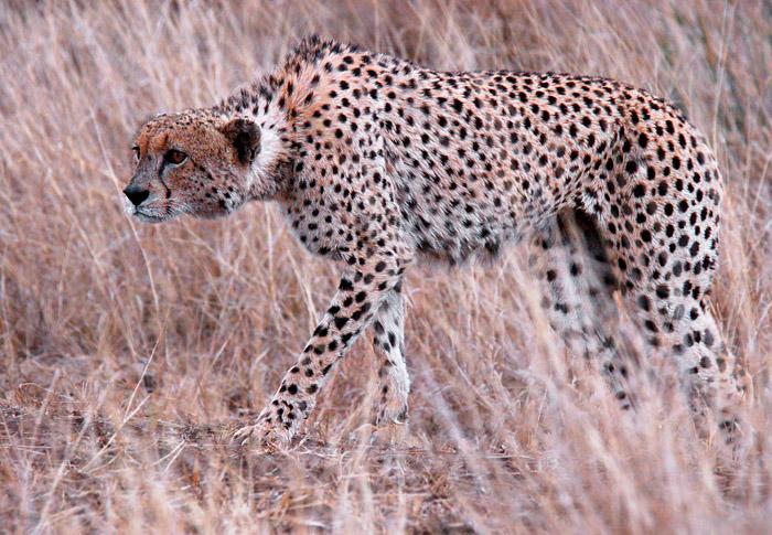 Cheetah Hunting Impala, Near Lower Sabie, Kruger National Park, South Africa