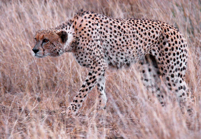 Cheetah Hunting Impala, Near Lower Sabie, Kruger National Park, South Africa