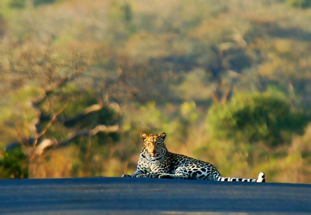 King of the Road: Leopard in road, Hluhluwe-Imfolozi Park, Kwazulu-Natal, South Africa