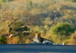 King of the Road: Leopard in road, Hluhluwe-Imfolozi Park, Kwazulu-Natal, South Africa
