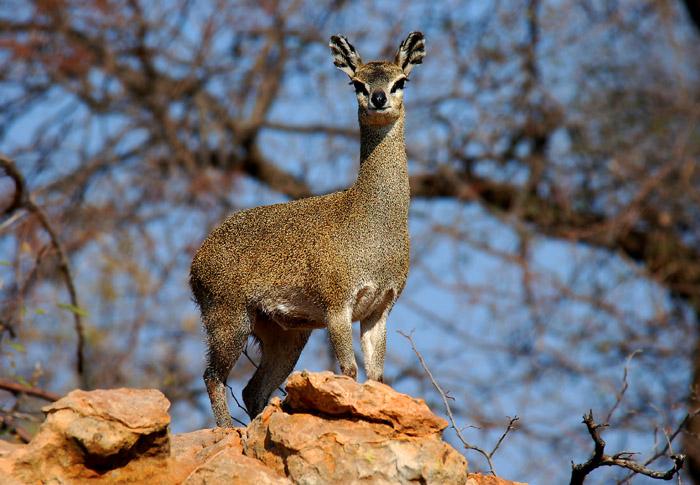 Klipspringer Female, Mapungubwe National Park, South Africa