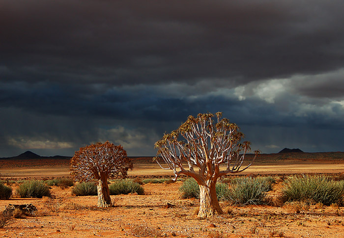 Kokerboom Trees in sunlight with looming storm clouds, Orange River Valley, South Africa