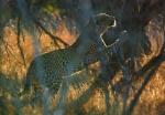 Leopard Stretching, Kruger National Park, South Africa
