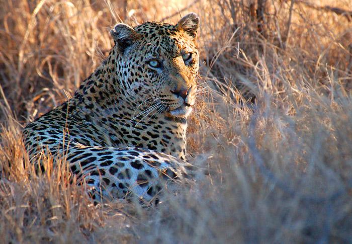 Leopard Looking at Camera - Kruger National Park, South Africa.