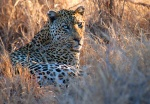 Leopard Looking at Camera - Kruger National Park, South Africa.