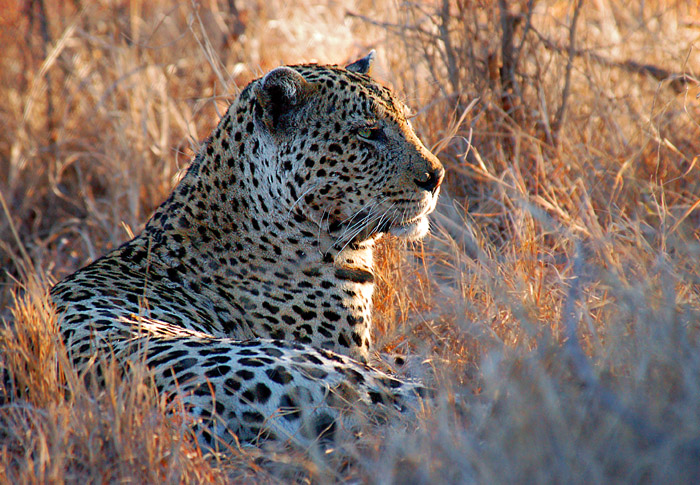 Leopard Relaxing in the late-afternoon light, Kruger National Park, South Africa
