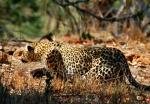 Leopard stalking bushbuck, near Shingwedzi, Kruger NP, South Africa