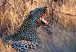 Leopard Yawning Kruger National Park, South Africa