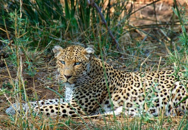 Female Leopard resting in grass, Shingwedzi, Kruger National Park, South Africa