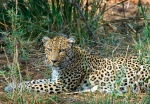 Female Leopard resting in grass, Shingwedzi, Kruger National Park, South Africa
