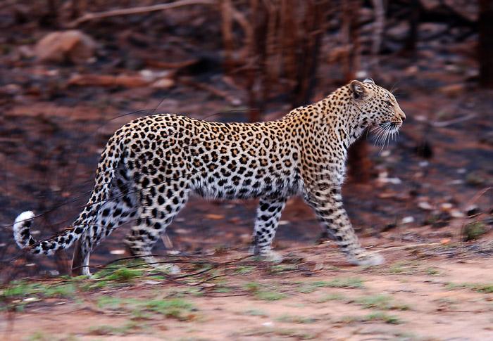 Leopardess walking through burn area, Kruger National Park, South Africa