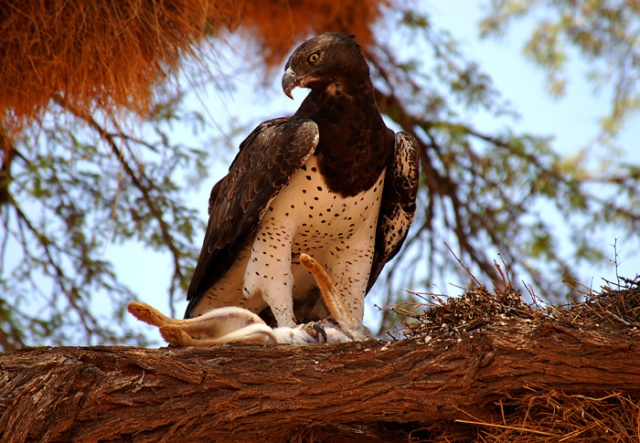 Martial Eagle with squirrel kill, Kgalagadi Transfrontier Park, South Africa