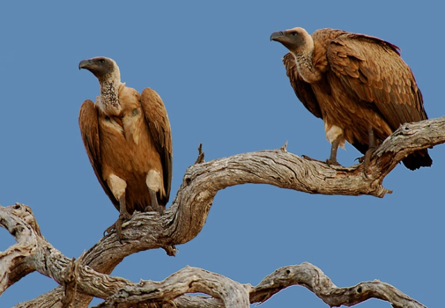 White-backed Vultures, Kruger National Park, South Africa