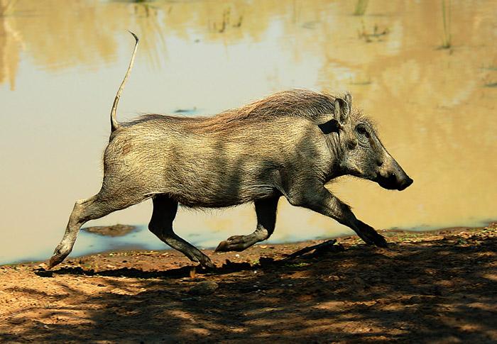Warthog running, Bekaphanzi Pan, Imfolozi Game Reserve, Kwazulu-Natal, South Africa