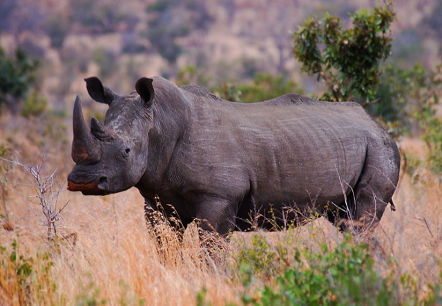 White Rhino, below Muntshe Hill near Lower Sabie, Kruger National Park, South Africa