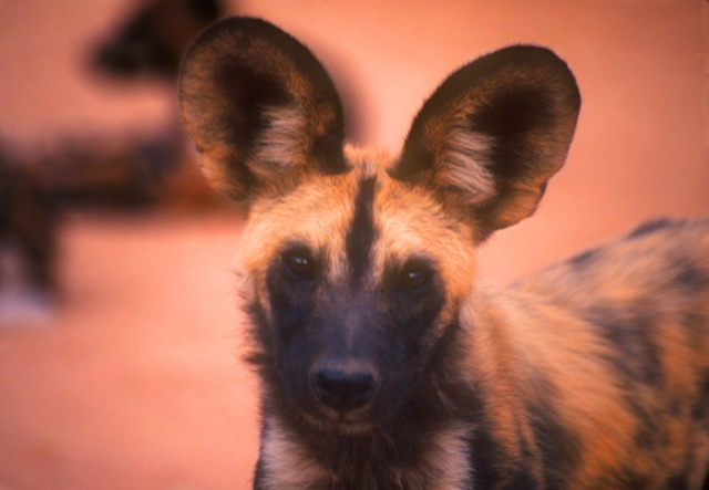 Wild Dog, Kruger National Park, South Africa