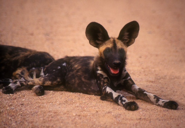 Wild Dog laying down, Kruger National Park, South Africa