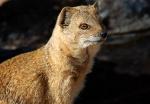 Yellow Mongoose close-up, Nossob Camp, Kgalagadi Transfrontier National Park, South Africa