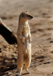 Yellow Mongoose Standing, Nossob Camp, Kgalagadi Transfrontier National Park, South Africa