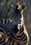 Zebra with backlighting, Kruger National Park, South Africa