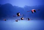 Flamingos in flight Arusha National Park Tanzania