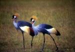 Grey Crowned Cranes, Serengeti National Park, Tanzania