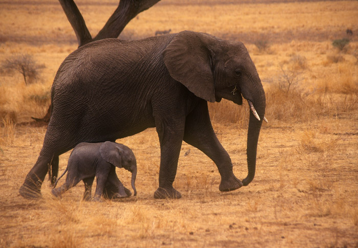 In Stride - Elephant with young, Tarangire National Park, Tanzania