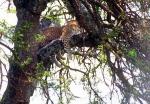 Leopard in tree, Serengeti, Tanzania