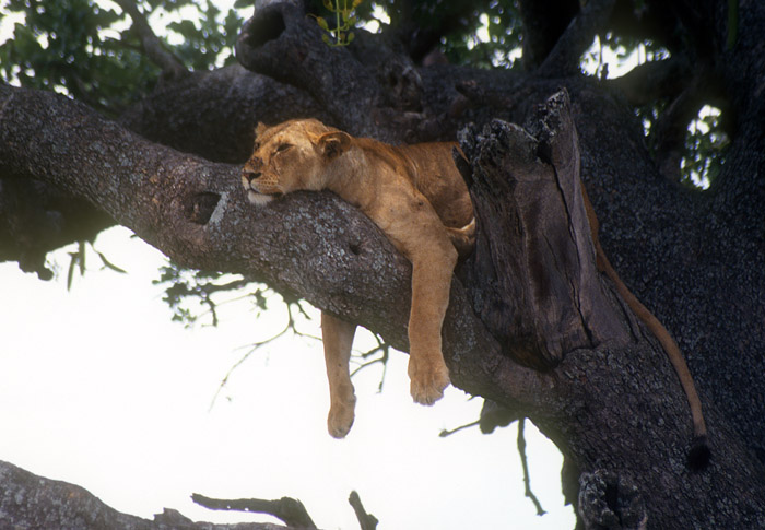 Lion sleeping in tree, Serengeti, Tanzania