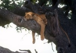 Lion sleeping in tree, Serengeti, Tanzania