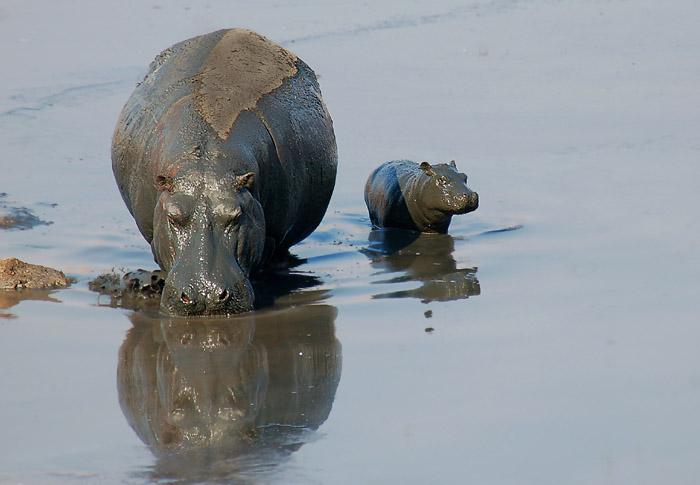 Mother and Baby Hippo, Masuma Waterhole, Hwange National Park, Zimbabwe