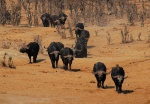 Cape Buffalo Herd heading for water, Masuma Pan, Hwange National Park, Zimbabwe