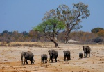 Elephants heading for water, Nyamandhlovu Pan, Hwange National Park, Zimbabwe