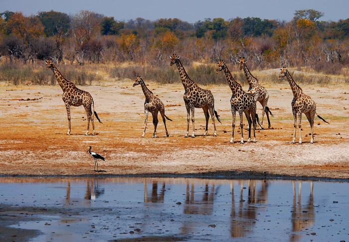 Giraffe Family, Nyamandhlovu Pan, Hwange National Park, Zimbabwe