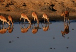Impala Buck watching his girls, Masuma Waterhole, Hwange National Park, Zimbabwe
