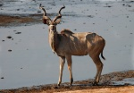 Greater Kudu Buck, Nyamandhlovu Pan, Hwange National Park, Zimbabwe