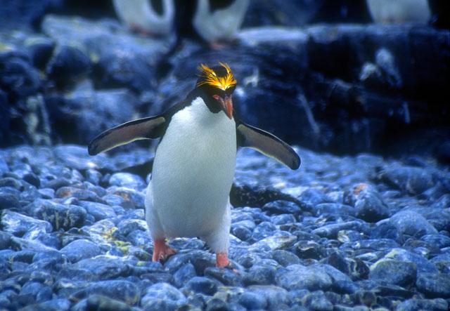 Macaroni Penguin, Antarctica