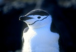 Chinstrap Penguin Close-Up