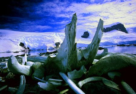 Whale mandible Trinity Island Antarctica