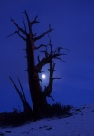 Bristlecone and hazy moon and snow, White Mountains, California