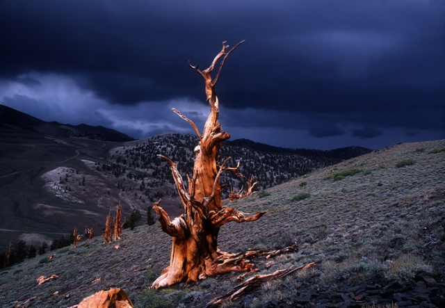 Bristlecone and stormy sky, Campito Mtn, White Mtns