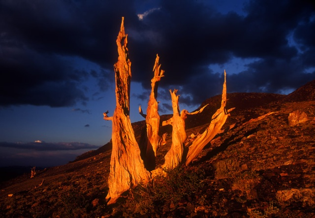 Bristlecone pine evening light and dark clouds, White Mountains, California
