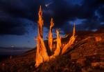 Bristlecone pine evening light and dark clouds, White Mountains, California
