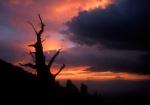 Bristlecone sillouette at sunset, White Mtns, California