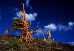 Bristlecone with green branch, White Mountains, California