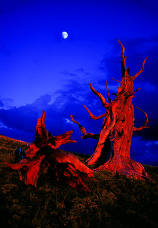 Sunset on Bristlecone Pines White Mountains, CA
