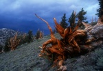 Fallen Bristlecone roots, Campito Mtn, White Mountains, California